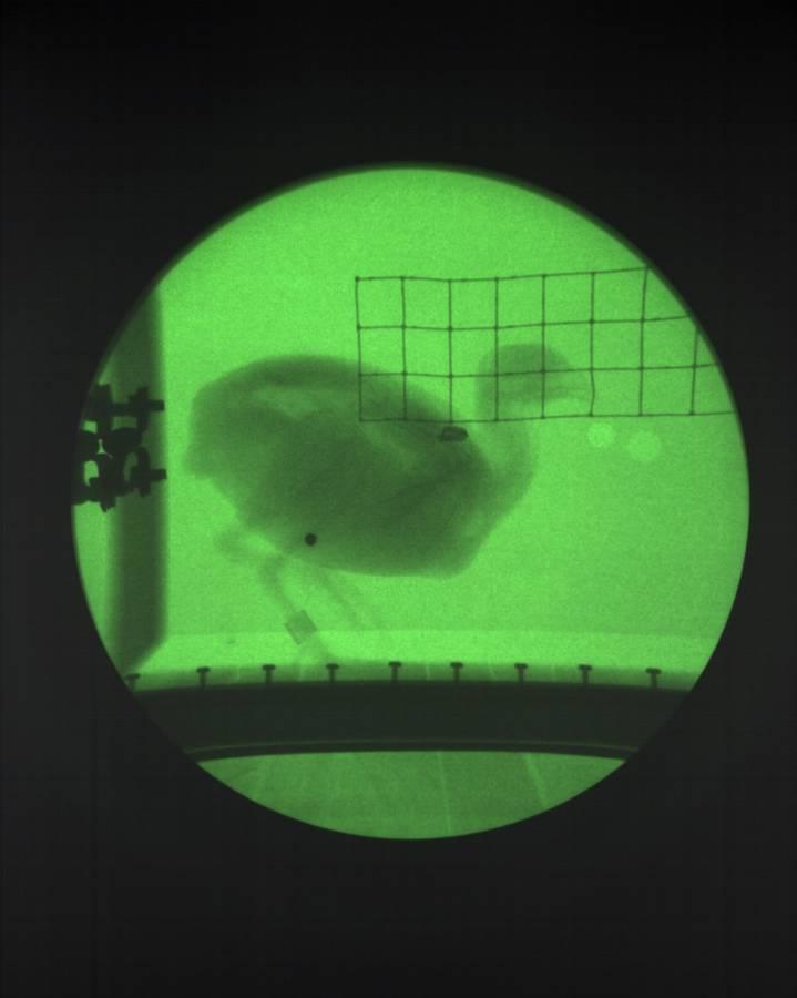 Suivi du mouvement d'une caille au travers d'un dispositif radiologique, NV1000 est proposé en couleur.